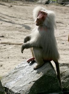 The Hamadryas Baboon Is Showing His Manhood Royalty Free Stock Image