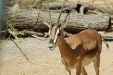 Free Thompson S Gazelle Stock Photography - 1369102