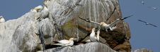 Free Gannets Upon A Rock In Bretagne (France) Royalty Free Stock Images - 1369139