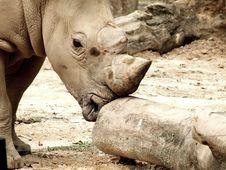 Free White Rhino Royalty Free Stock Photos - 1369298