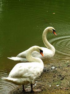 Free Swan Royalty Free Stock Image - 1369386