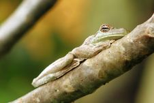 Free Bored Frog Royalty Free Stock Image - 1369446
