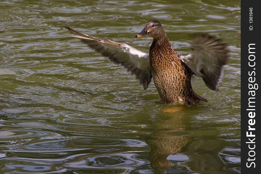 Shaking Duck