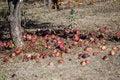 Free Fallen Apples Stock Image - 13601551
