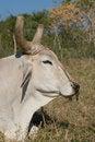 Free White Bull Head Closeup (I) Royalty Free Stock Image - 13604206