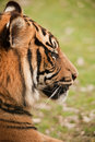 Free Tiger Resting Stock Photography - 13604452