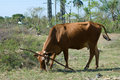 Free Brown Cow In A Farm (IV) Royalty Free Stock Images - 13605579