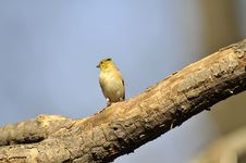 Free American Goldfinch: Spinus Tristis Stock Photography - 13600602