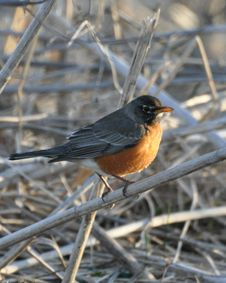 Free Robin On Sticks Royalty Free Stock Images - 13600899