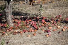 Free Fallen Apples Stock Image - 13601551