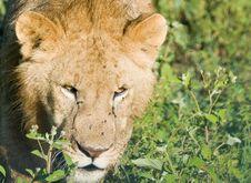 Free Lion Stock Photos - 13601633