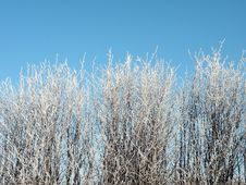 Free Frosten Bush Royalty Free Stock Images - 13601739