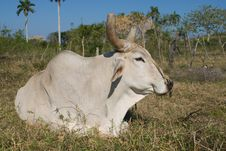 Free White Bull Resting In The Grass (II) Stock Photo - 13604050