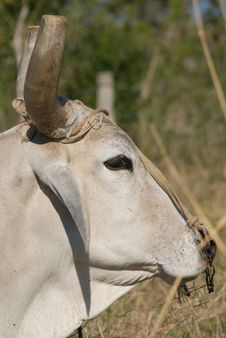 Free White Bull Head Closeup (II) Royalty Free Stock Photo - 13604335