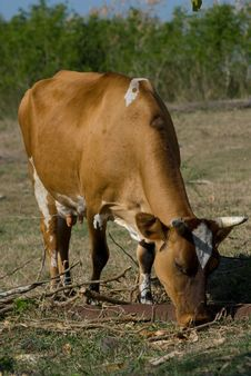 Free Brown Cow In A Farm (I) Stock Photos - 13604863