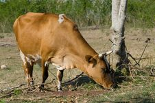 Free Brown Cow In A Farm (II) Royalty Free Stock Images - 13605099