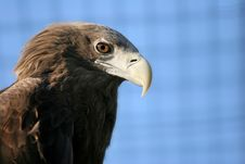 Free Sea Eagle Stock Photos - 13605273