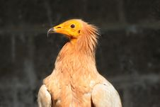 Free Egyptian Vulture Stock Photography - 13605402