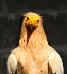 Free Egyptian Vulture Royalty Free Stock Photography - 13605447