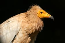 Free Egyptian Vulture Royalty Free Stock Photography - 13605457