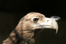 Free White-tailed Eagle Stock Images - 13605464