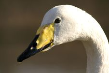 Free Whooper Swan Royalty Free Stock Images - 13605479