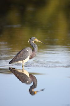 Tricolored Heron Royalty Free Stock Photos