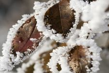 Pictorial Of Frozen Hip-berry Leaves Stock Image