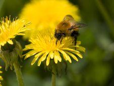 Free Bumblebee. Royalty Free Stock Photos - 13606908