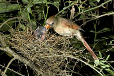 Free Female Cardinal Feeding Nestlings. Stock Images - 13607264