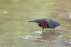 Free Green Heron Sneaking. Stock Images - 13607304