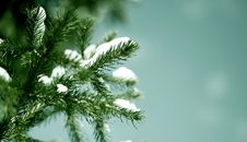 Free Spruce Branch Stock Photo - 13607790