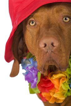 Dog Portrait Wearing A Hat Stock Photo