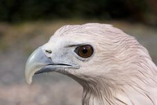 Free Eagle Royalty Free Stock Photography - 13608557