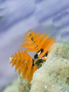 Free Christmas Tree Worms, Royalty Free Stock Image - 13608726