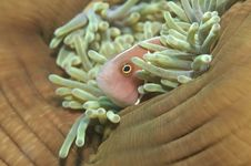 Free Pink Anemonefish,(Amphiprion Perideraion) Royalty Free Stock Photography - 13608727