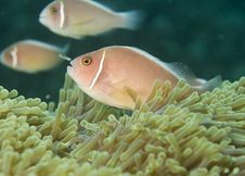 Free Pink Anemone Fish,(Amphiprion Perideraion) Stock Photo - 13608730