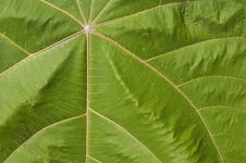 Free Green Leaf Texture Royalty Free Stock Photo - 13608755