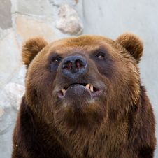 Free Bear Royalty Free Stock Photography - 13609017