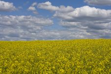 Rape Field. Royalty Free Stock Images