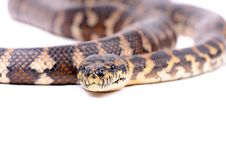 Free Boa Cobstrictor Stock Photos - 13609263