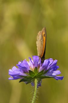 Free Butterfly Drinking The Nectar Stock Image - 13609381