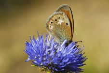 Free Butterfly Drinking The Nectar Royalty Free Stock Images - 13609389