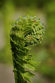 Free Growing Fern Stock Photography - 13609462