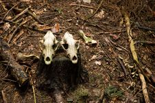 Two Deer Skulls Royalty Free Stock Photography