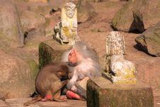 Free Japanese Macaque Stock Photos - 13609573