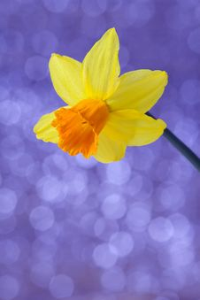 Free English Daffodil Stock Photos - 13609663