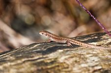 Free Forest Lizard - Zootoca-vivipara Stock Photos - 13609693
