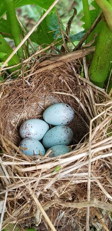 Free Nest, Bird Nest, Egg, Bird Stock Photography - 136080752