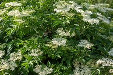 Free Plant, Nannyberry, Flora, Elderberry Stock Image - 136081041